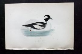 Morris 1870 Antique Bird Print. Buffel-Headed Duck
